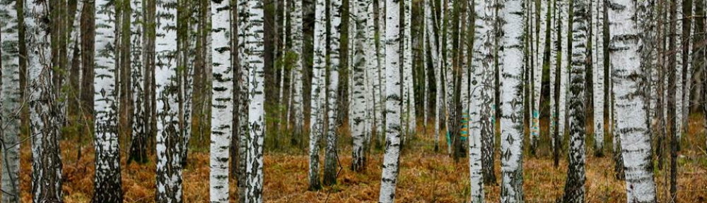 cropped-birch-trees.jpg